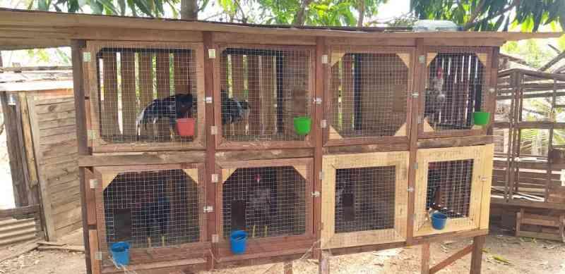 Polícia Ambiental encontra galos com esporas serradas e multa suspeito de organizar rinhas em Catanduva, SP