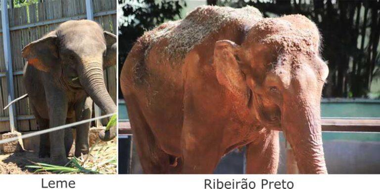 Petição pede LIBERDADE para BAMBI, a elefanta confinada no zoológico de Ribeirão Preto, SP