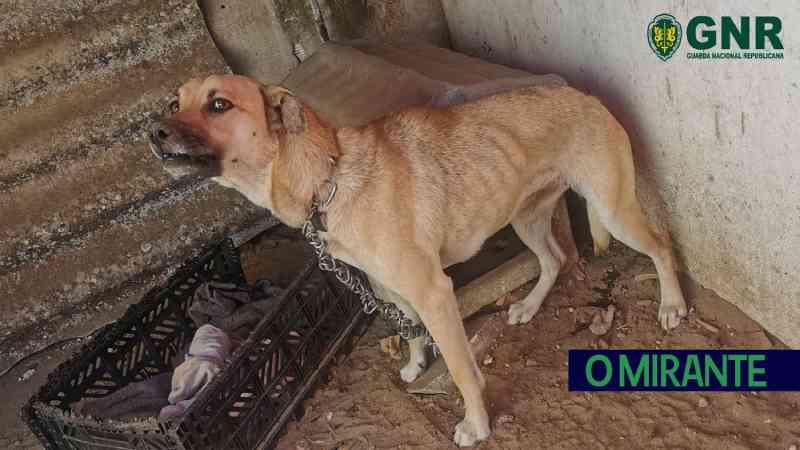 GNR resgata cão e identifica tutor por maus-tratos em Salvaterra de Magos, Portugal
