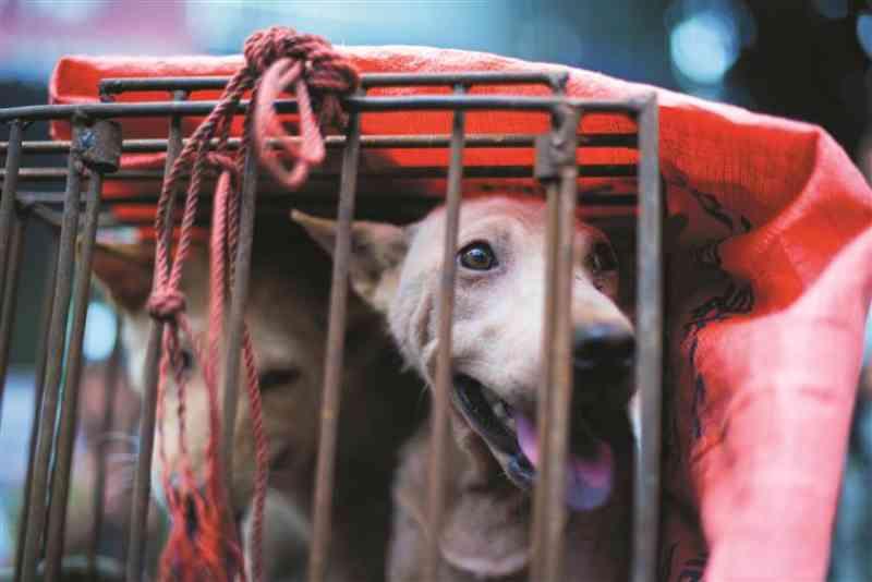 O festival de carne de cão que indigna a maioria dos chineses