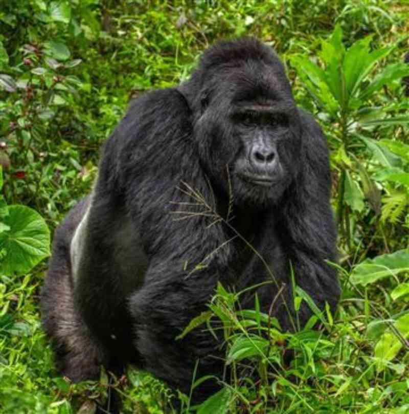 Famoso gorila ugandês de 25 anos foi morto em parque da UNESCO; quatro pessoas presas