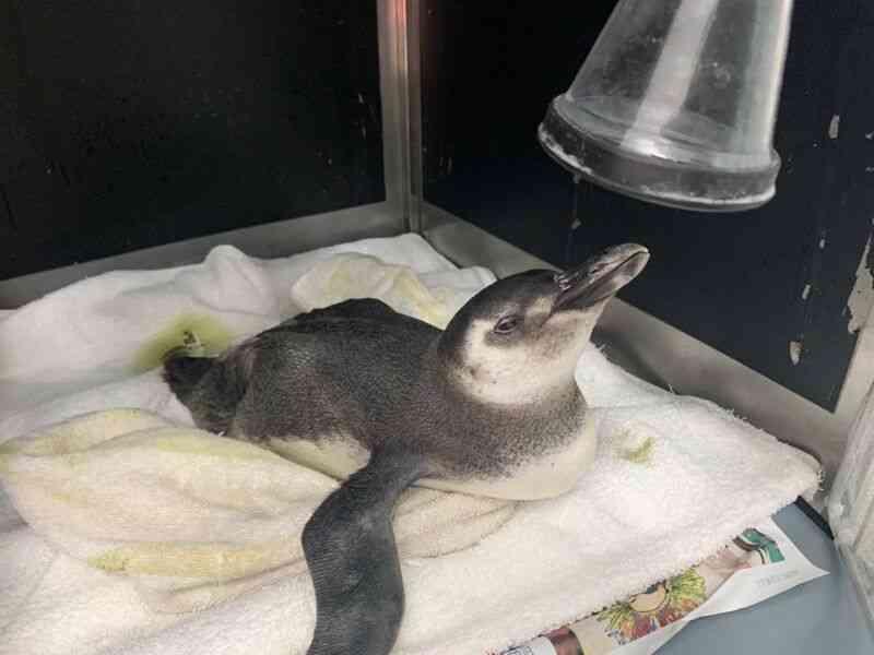Gremar resgata 14 pinguins em Bertioga, Guarujá e Santos, em SP