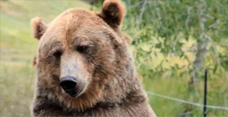 Ursos resgatados de maus-tratos na Rússia e nos Estados Unidos vivem com seres humanos