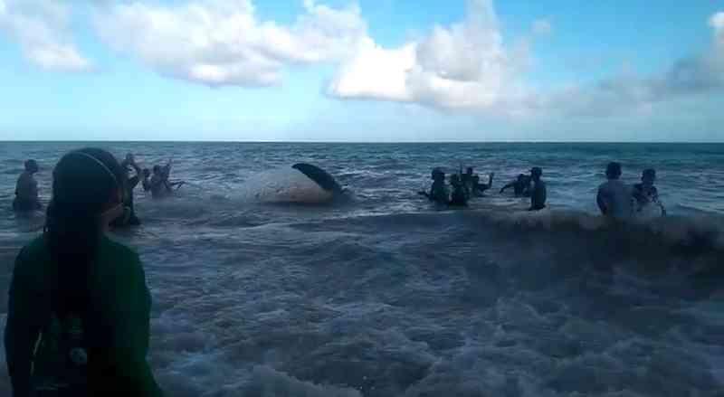 Baleia que encalhou na praia de Carro Quebrado, AL, volta ao mar depois de mais de 24 horas