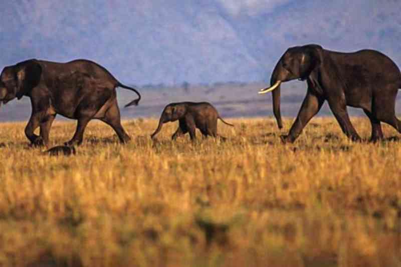 Morte repentina de elefantes na África foi causada por um novo vírus letal