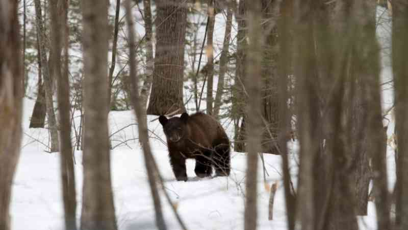 Trump libera métodos cruéis para a caça de ursos e lobos no Alasca