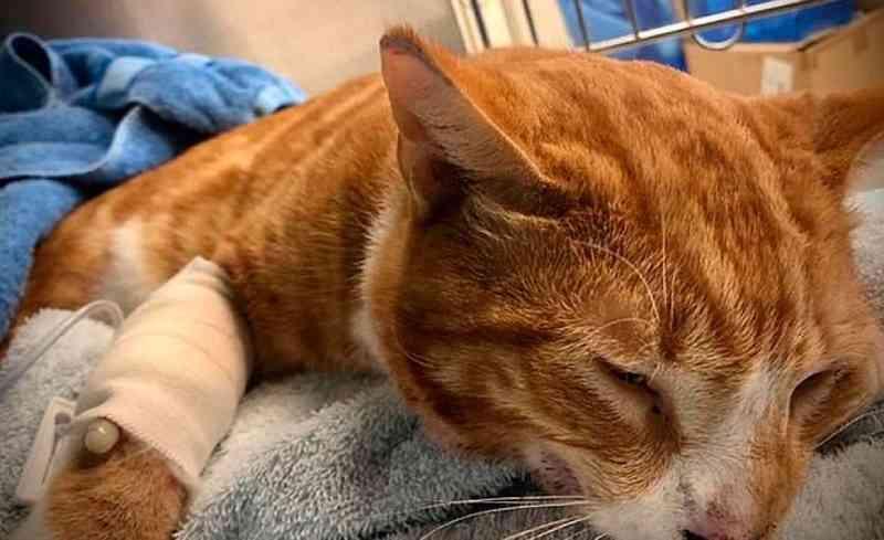 Outro gato jogado pela janela de carro se recupera na Austrália