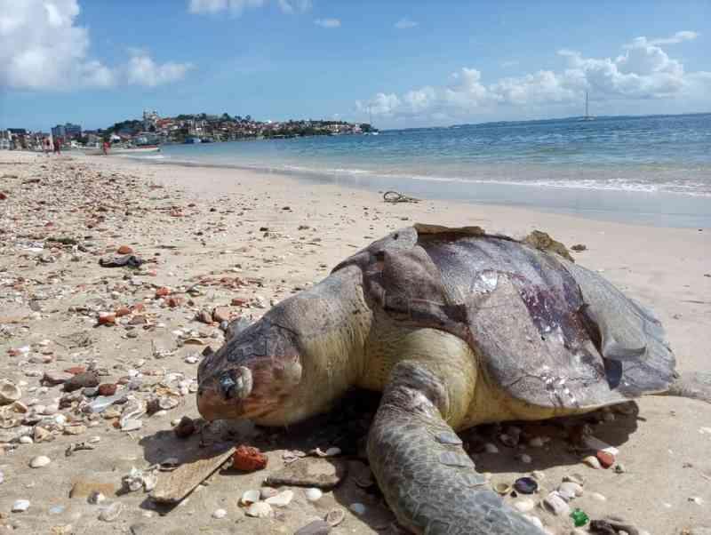 Tartaruga morta é achada na praia da Ribeira, em Salvador, BA