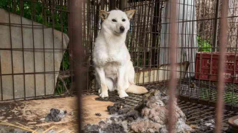 Mais de 100 cães foram salvos de fazendas de carne de cachorro na Coreia do Sul. Agora eles podem ser adotados nos EUA