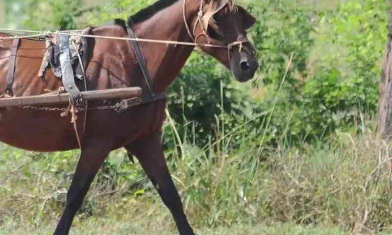 Cavalo morre após receber quase 50 chicotadas e golpes de pá do tutor no DF
