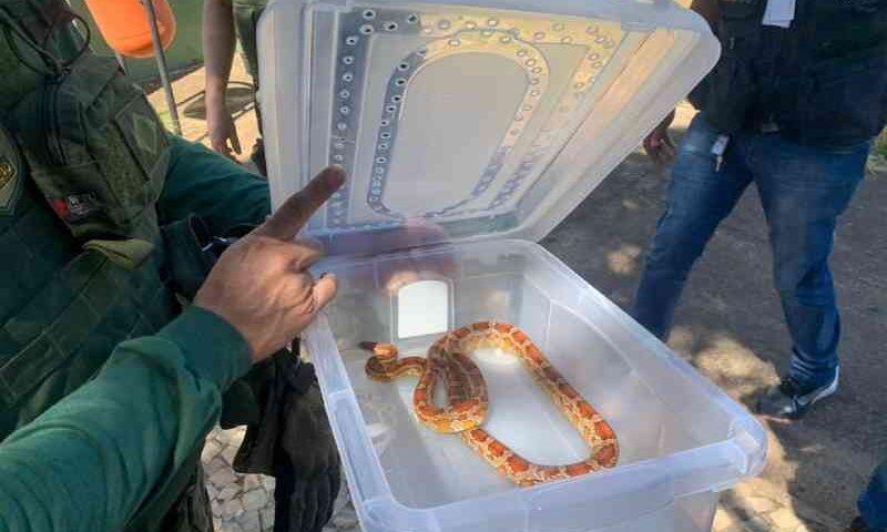 Polícia apreende mais uma cobra exótica criada ilegalmente no DF; veja vídeo