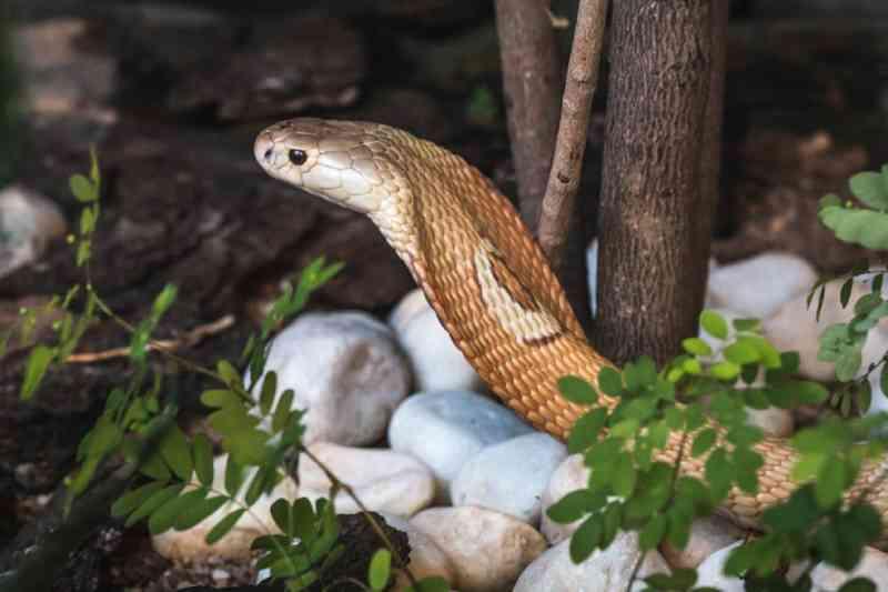 Polícia vê indícios de que estudantes que criavam naja no DF reproduziam cobras para tráfico