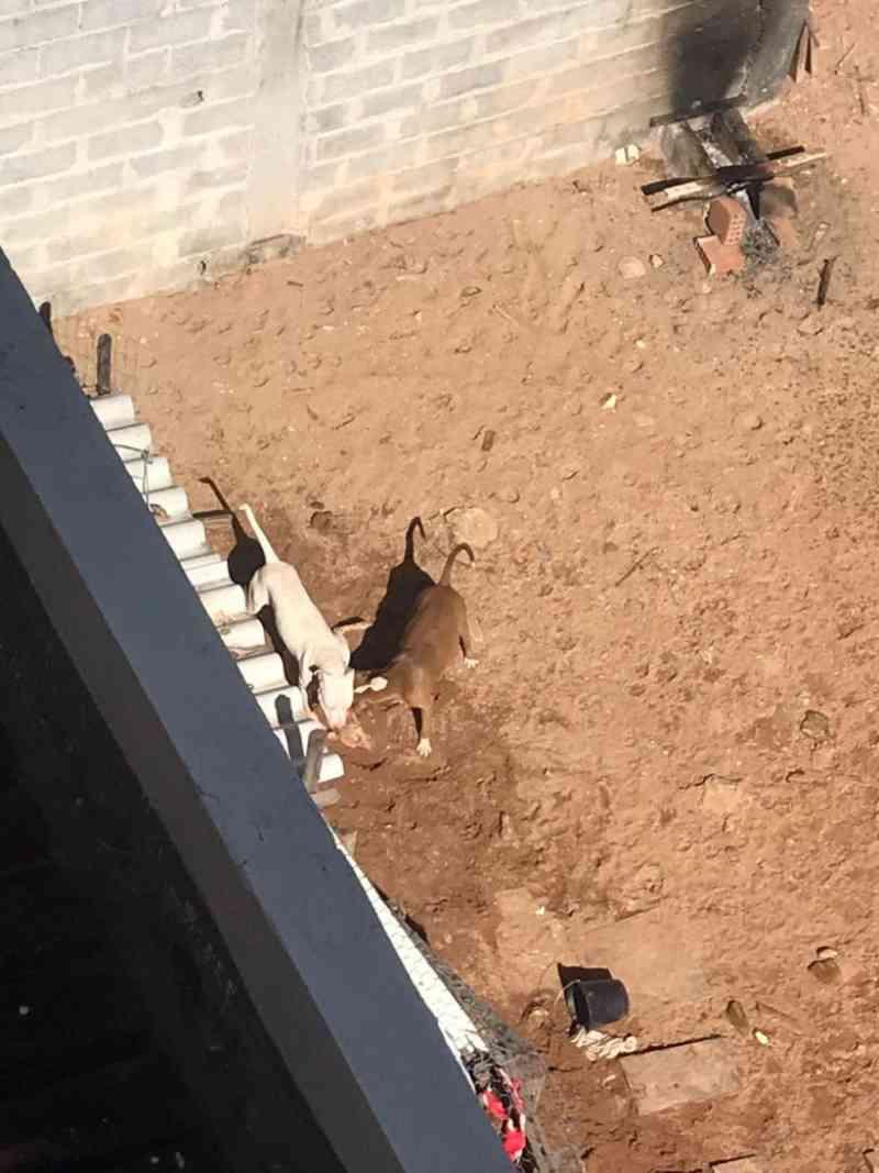 Canil de pit bulls é denunciado após brigas e mortes entre cães em Guarapari, ES