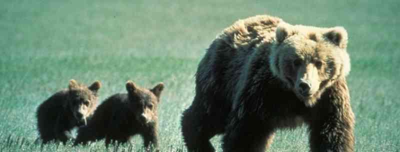 Ursos pardos norte-americanos permanecerão protegidos de caçadores de troféus, concorda tribunal de apelação