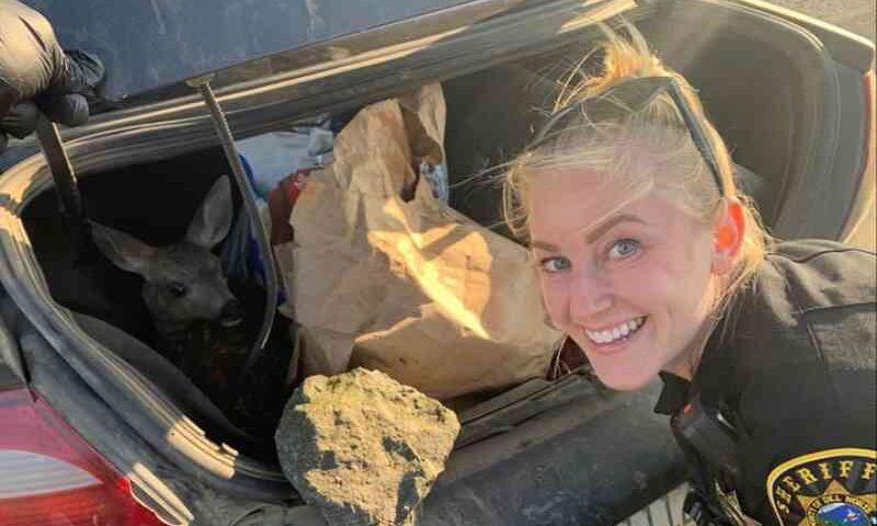 Xerife encontra filhote de cervo em porta-malas depois de prender homem por crueldade animal