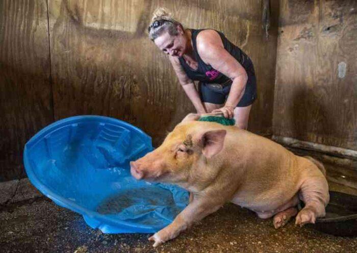 Porco maltratado que quase se tornou refeição do Dia das Mães vai se mudar para o 'paraíso dos porquinhos'
