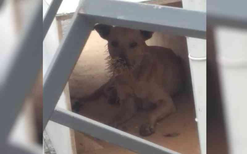 Protetora busca por especialista com dardos tranquilizantes para resgatar cães feridos por espinhos de ouriço: 'Morrendo à míngua'