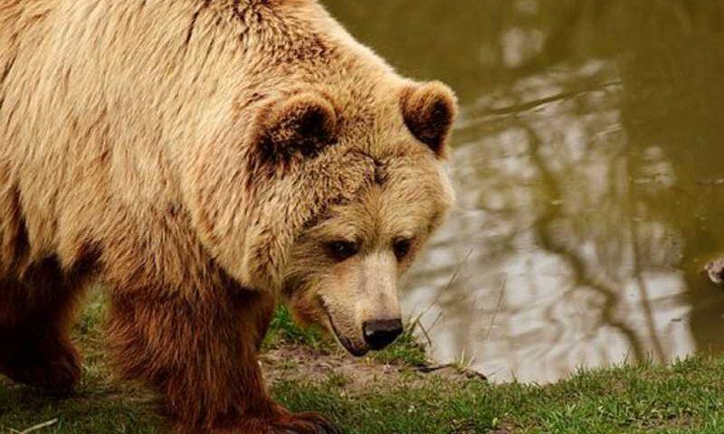 Justiça da Itália anula ordem de governador para matar ursa