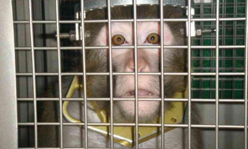 Macacos mutilados forçados ao halterofilismo depois de cirurgia horrível no cérebro