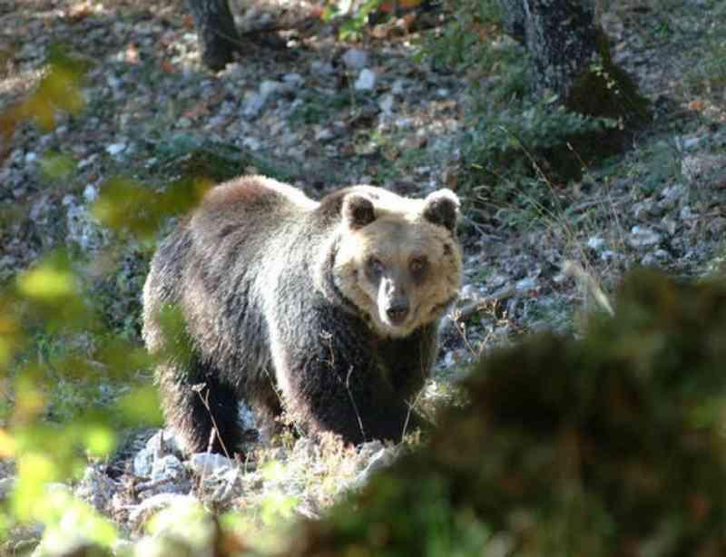 Urso foge de cativeiro na Itália pela segunda vez