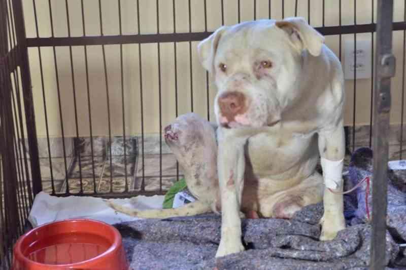 Pit bull tem as patas decepadas por dois homens em Confins, MG; animal está em estado grave