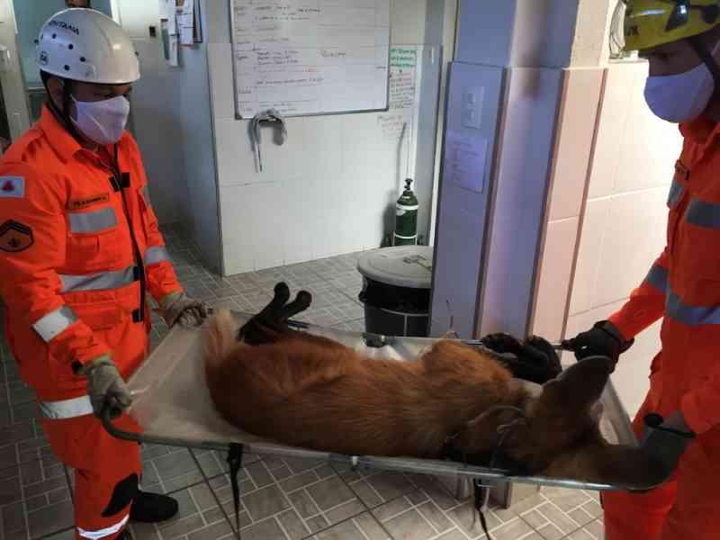 Lobos-guarás feridos são resgatados por bombeiros em rodovias de Juiz de Fora, MG