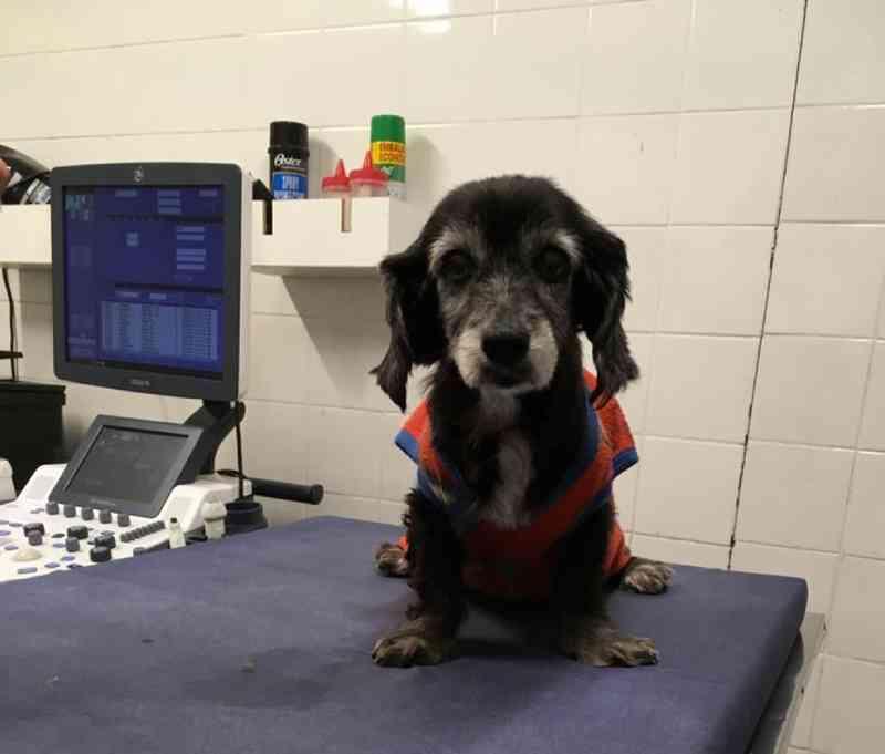 Cadela com problema cardíaco recebe marcapasso em procedimento inédito em Uberlândia, MG