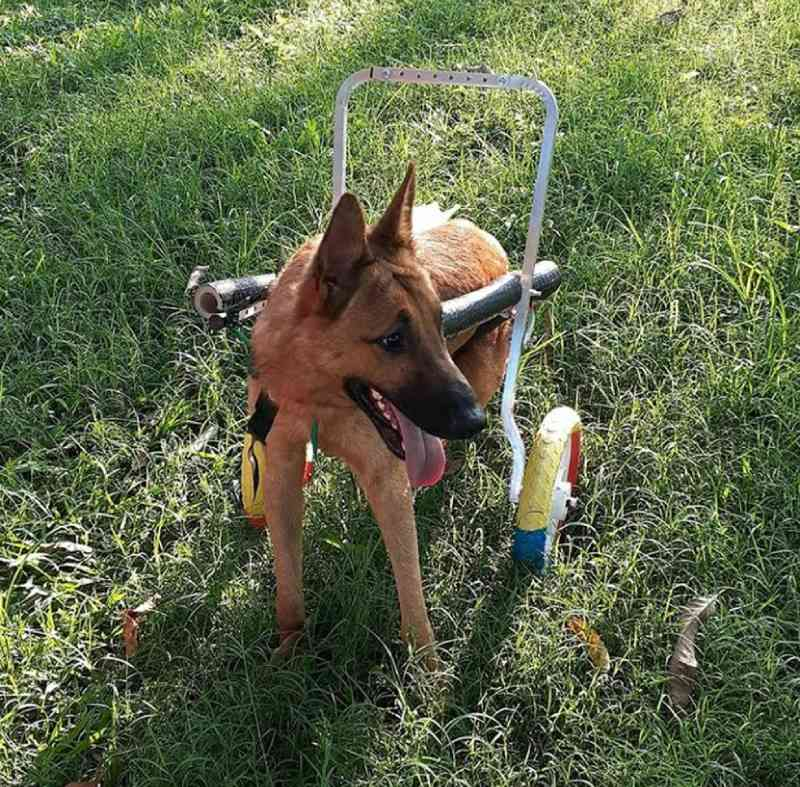 Cachorro vítima de maus-tratos recupera parte dos movimentos e volta a andar com cadeira de rodas; Bidu foi resgatado há 1 ano