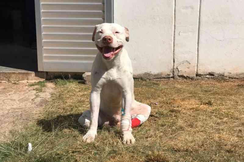 Cachorro Sansão recebe alta e será preparado para o uso de próteses