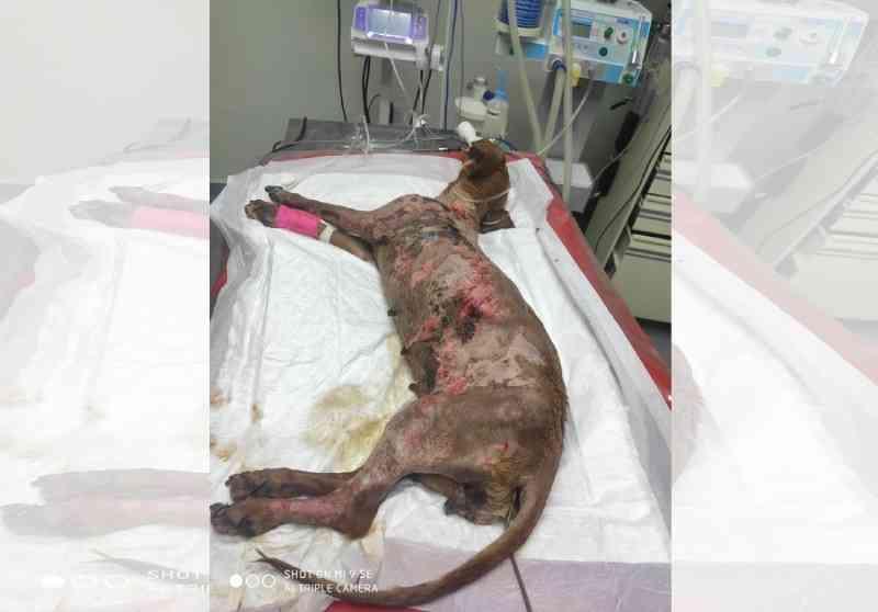 Cachorra queimada com água quente em Batayporã (MS) não resiste aos ferimentos e morre