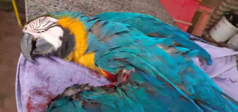 No 3º caso em um dia, arara morre após ser cortada por linha com cerol em Campo Grande, MS