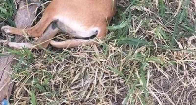 Dono de chácara denuncia condutor de Uno por agredir cachorra a pauladas