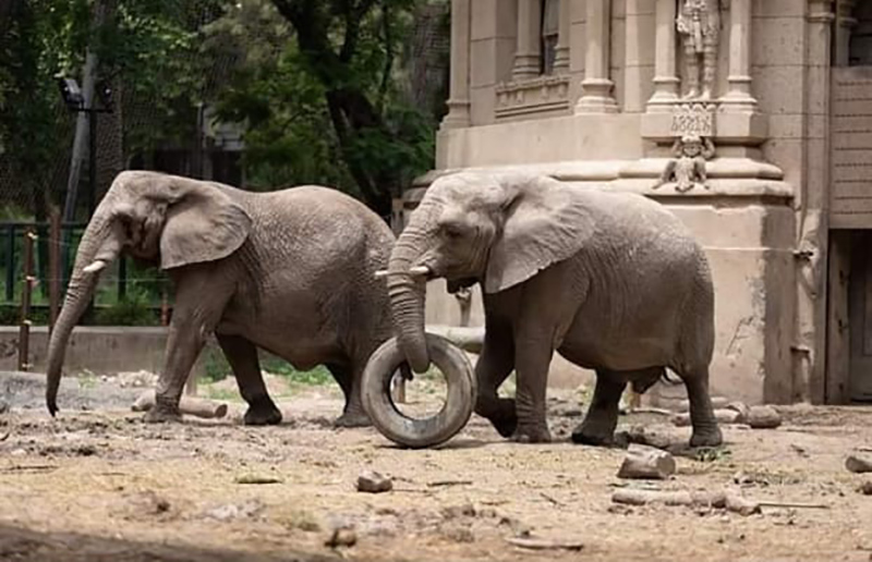Mais duas elefantas chegarão ao santuário em Mato Grosso