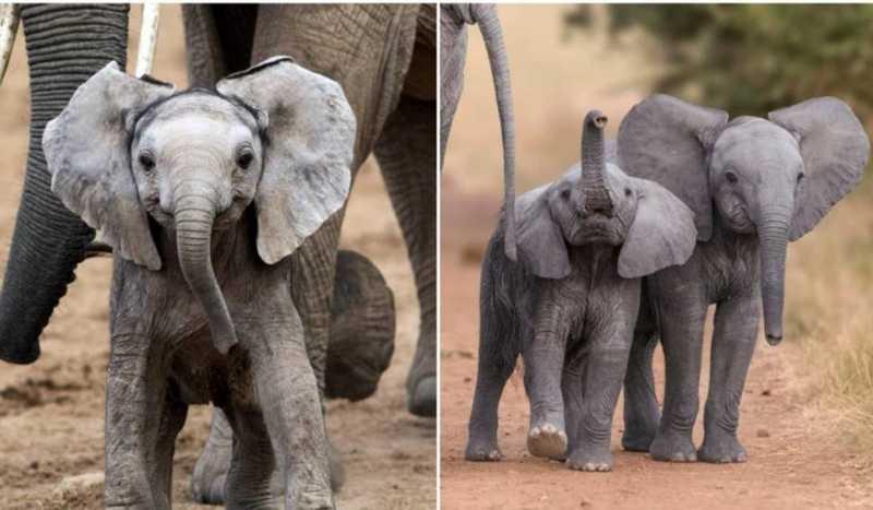 O comércio de bebês elefantes africanos para zoológicos é finalmente proibido internacionalmente.