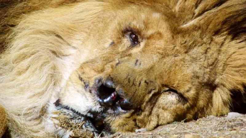 Marjan: A triste história do leão que sobreviveu a guerras, invasões e maus-tratos