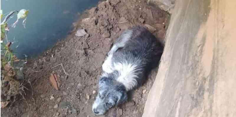 Cão ferido é abandonado debaixo de ponte em Piripiri, PI; animal foi resgatado