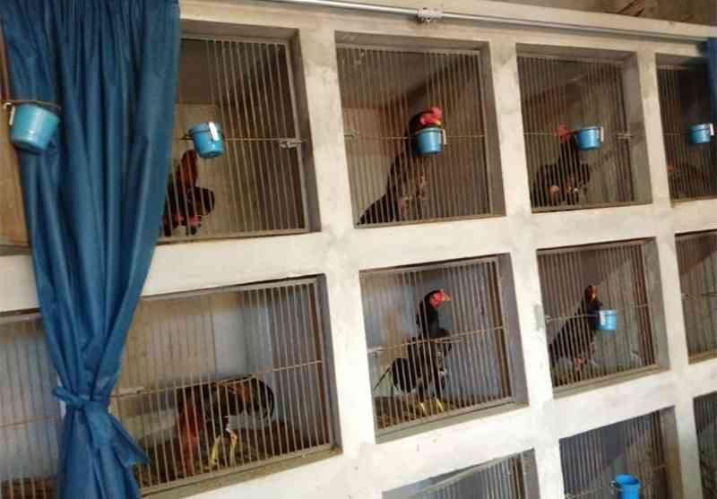 Vídeo: polícia flagra 'centro de treinamento' de galos para rinha e apreende 50 animais