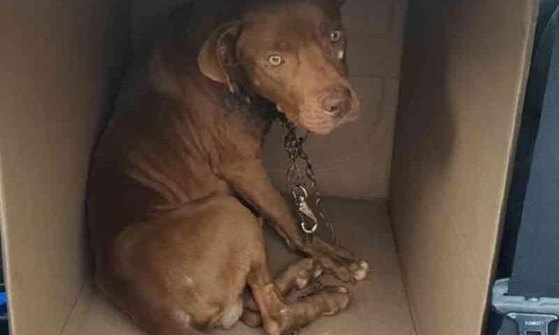 Cachorro com grave lesão no pescoço por conta de corrente é resgatado no PR; precisa-se de ajuda para custear tratamento