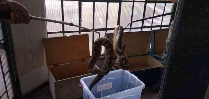 Mais de 150 cobras são recolhidas pela polícia de casa em Mandaguari, PR