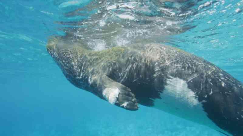 Portugal: Lobo marinho ferido está a ser seguido pelo IFCN, que apela para o animal não ser perturbado