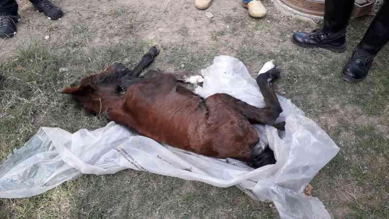 Abandonada, filhote de égua é resgatada à beira da morte em terreno baldio, em Inhoaíba, RJ