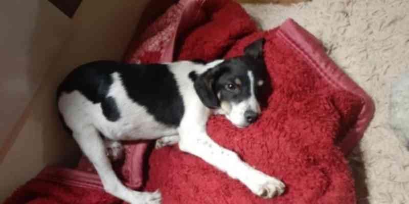 Grupo cria vaquinha digital para pagar cirurgia de cão atropelado em Sapucaia do Sul, RS