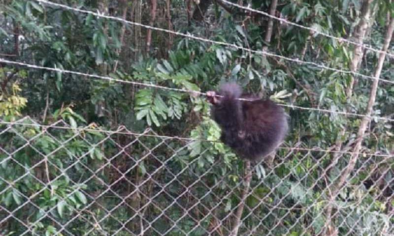 Filhote de macaco-prego havia prendido o rabo no arame de uma cerca. Foto: Divulgação