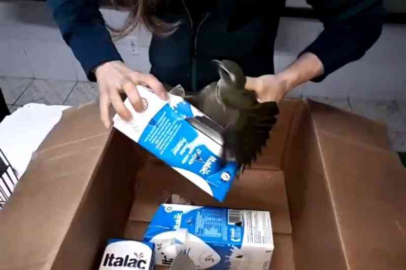 VÍDEO: homem é preso transportando pássaros silvestres em caixas de leite