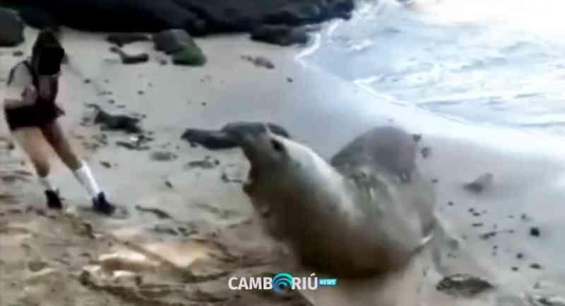 Turista tenta fazer foto com elefante-marinho e quase é atacada em Balneário Camboriú, SC