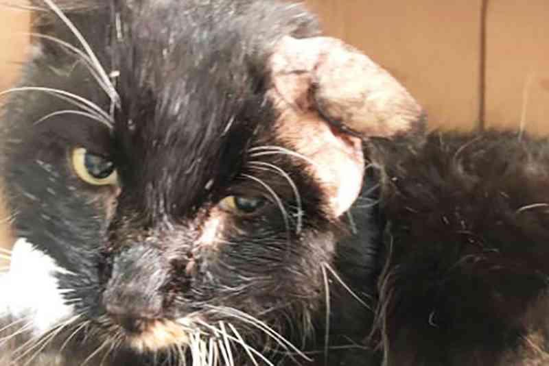 ONG que cuida de animais em Gaspar (SC) pede ajuda para tratar gato com tumor na orelha