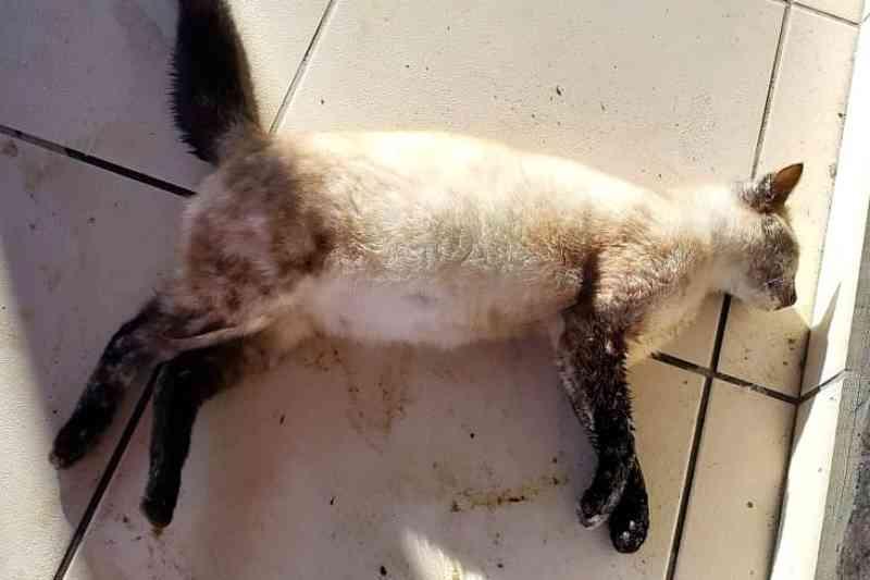Moradora denuncia envenenamento de animais domésticos no bairro Bortolotto, em Nova Veneza, SC