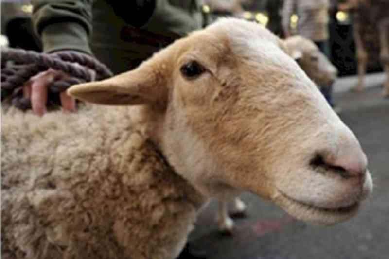 Idoso de 75 anos flagrado estuprando ovelha e outros animais, em Tubarão (SC) é internado