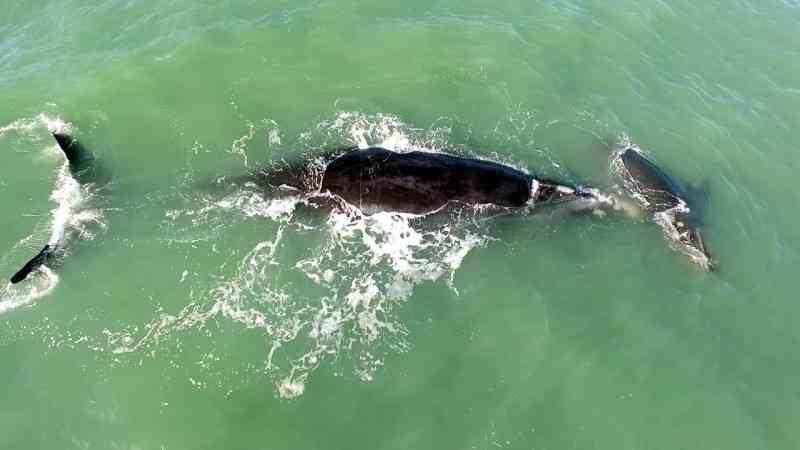 Mais uma baleia-franca com pedaço de rede preso na cabeça é monitorada pela equipe do ProFRANCA