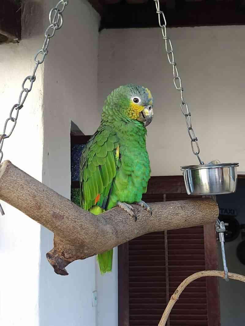 Moradora de São Sebastião (SP) é multada e responderá por crime ambiental por manter papagaio em casa sem autorização
